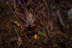 Whip Scorpion walking toward viewer through dry leafs, whip Scorpion amblypygi inside of the forest in Cuyabeno National Stock Image