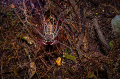 Whip Scorpion walking toward viewer through dry leafs, whip Scorpion amblypygi inside of the forest in Cuyabeno National Royalty Free Stock Image