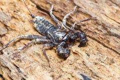 Whip scorpion Stock Photo