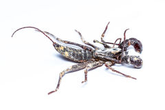 Whip scorpions isolated Stock Image