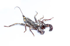 Whip scorpions isolated Stock Images