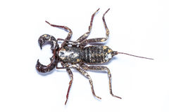 Whip scorpions isolated Royalty Free Stock Image