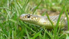 Whip Snake Stock Photography