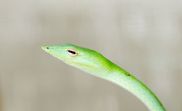 Whip snake Stock Image