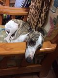 Whipper лежа на стуле Стоковые Фото