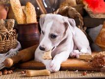 Whippet小狗咬大面包,饼干曲奇饼 库存图片