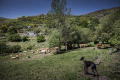 Whippet牧羊人 库存照片