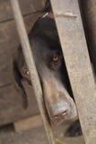 Whippet狗在鸟舍 免版税库存图片