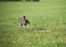Whippet που τρέχει με το frisbie Στοκ εικόνα με δικαίωμα ελεύθερης χρήσης