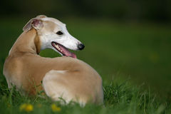 whippet собаки стоковые изображения