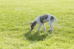 whippet images stock