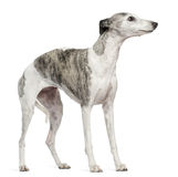 Whippet, 12 months old, standing Stock Photo