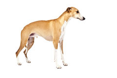 Whippet Royalty-vrije Stock Foto's