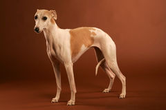 Whippet Photo stock