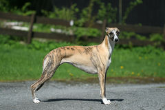 Whippet Fotos de Stock Royalty Free