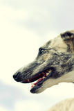 Whippet Stock Images