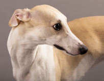Whippet Stock Photos