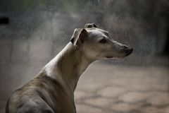 Whippet Immagini Stock