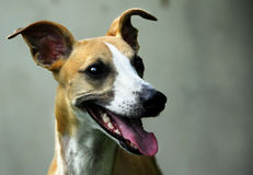 Whippet Royalty-vrije Stock Afbeelding