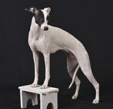 whippet Obrazy Royalty Free