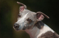 Whippet. A young Whippet female is looking backside Stock Image