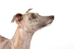 Whippet Immagine Stock