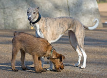 Whippet. Beautiful Whippet watching over an adorable Irish Terrier puppy Stock Photos