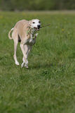 Whippet in action Royalty Free Stock Images