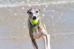 Whippet with ball Stock Photography