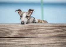 Whippet on a banch. Young whippet lodging his head on a banch Royalty Free Stock Photo