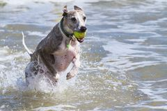 Whippet at beach Royalty Free Stock Images