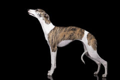 The whippet Royalty Free Stock Photo