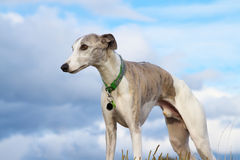 Whippet, blue sky stock photography