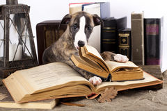 Whippet and book Royalty Free Stock Image