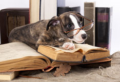 Whippet and book. Whippet puppy and retro book royalty free stock photo