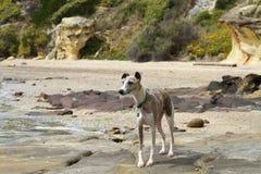Whippet Brindle e branco na praia imagem de stock royalty free