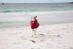 Whippet in cappotto rosso sulla spiaggia Immagine Stock