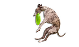 Whippet catches frisbee. Whippet catches green frisbee isolate royalty free stock photo
