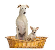 Whippet and Chihuahua puppy in wicker basket, isolated Stock Photo