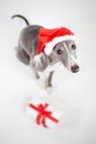 Whippet con il cappello ed il regalo di Natale della Santa Fotografia Stock