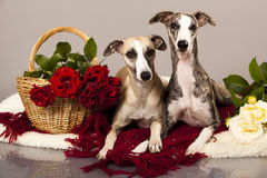 Whippet couple Stock Photo