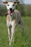 Whippet courant Photo libre de droits