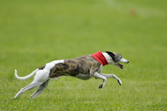 Whippet coursing Stock Image
