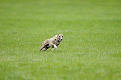 Whippet coursing. A whippet racing for the lure coursing championship royalty free stock images