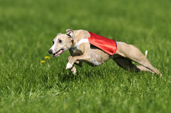 Whippet Coursing Royalty Free Stock Photos