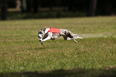 Whippet coursing. A whippet lure coursing at full speed Royalty Free Stock Photography