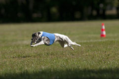 Whippet coursing Royalty Free Stock Photography
