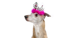 Whippet with crown. A whippet with a princess crown Royalty Free Stock Photography