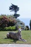 Whippet dans un jardin photo libre de droits