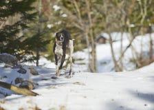 Whippet, das auf Schnee läuft Stockfotos